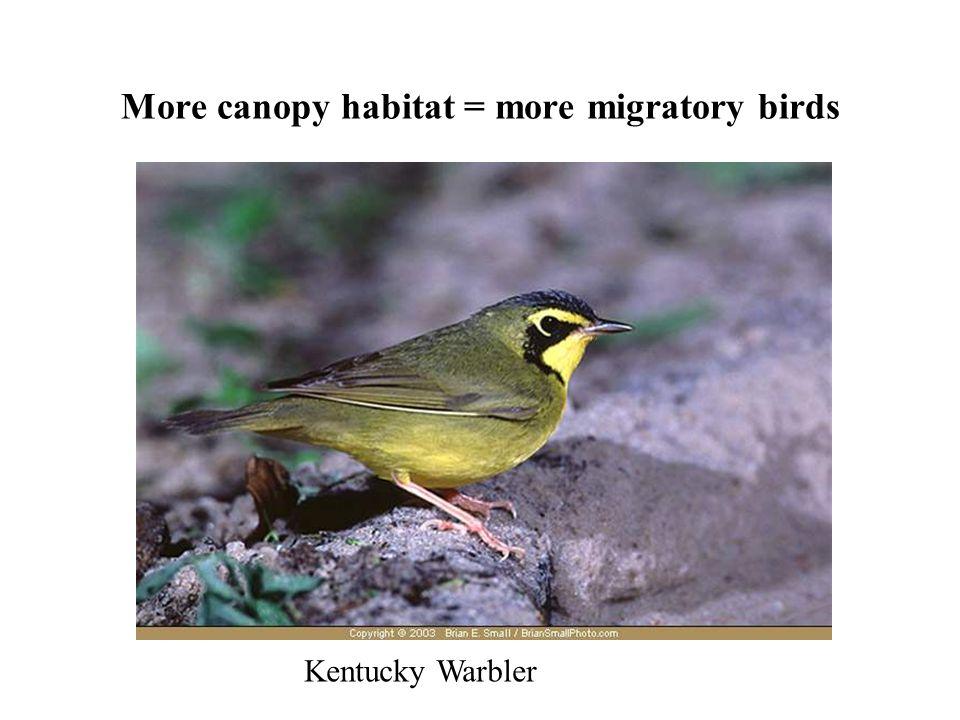 More canopy habitat = more migratory birds Kentucky Warbler