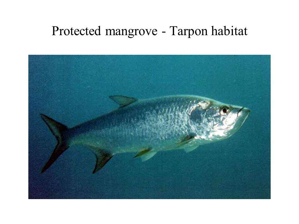 Protected mangrove - Tarpon habitat