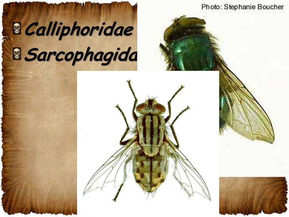 CalliphoridaeSarcophagidae