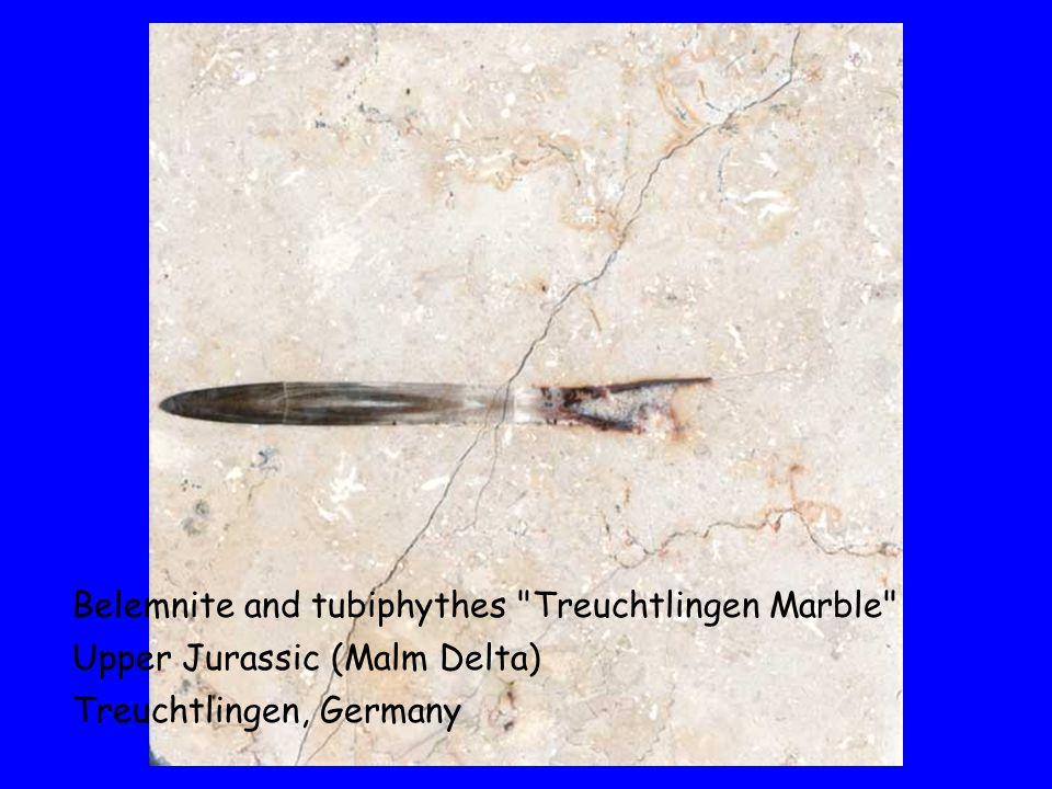 Belemnite and tubiphythes Treuchtlingen Marble Upper Jurassic (Malm Delta) Treuchtlingen, Germany