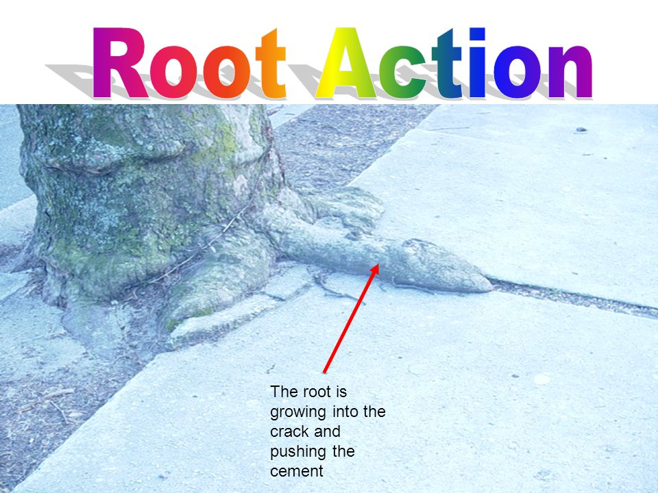 The root is growing into the crack and pushing the cement