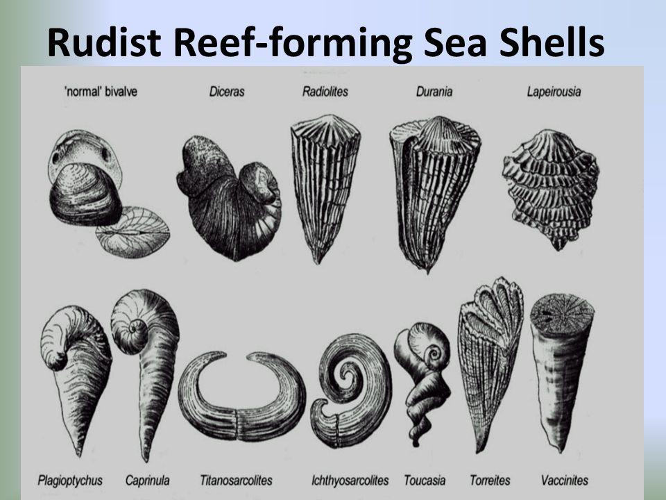 Rudist Reef-forming Sea Shells