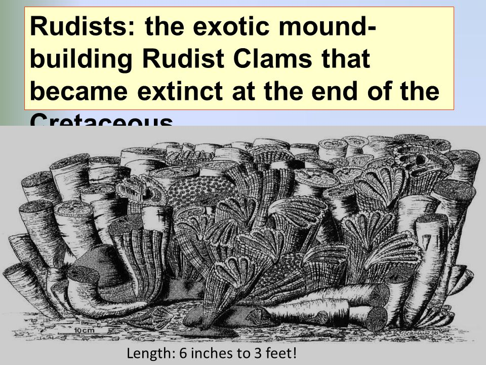 Rudists: the exotic mound- building Rudist Clams that became extinct at the end of the Cretaceous Length: 6 inches to 3 feet!