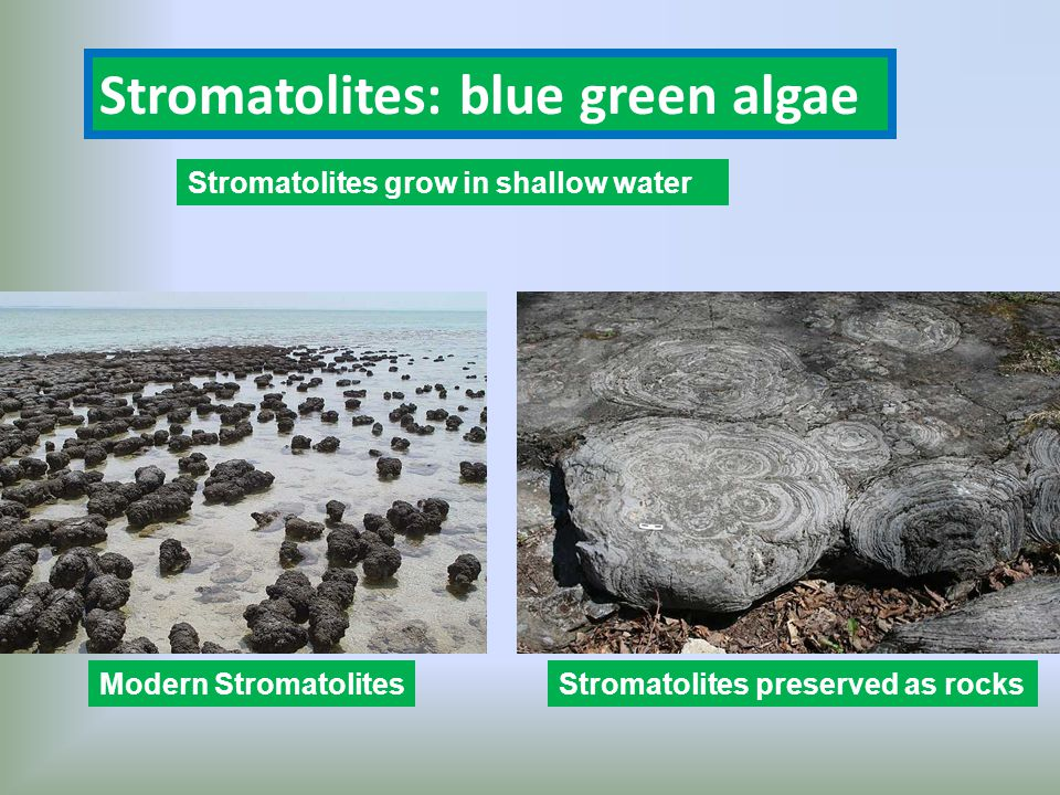 Stromatolites: blue green algae Modern StromatolitesStromatolites preserved as rocks Stromatolites grow in shallow water