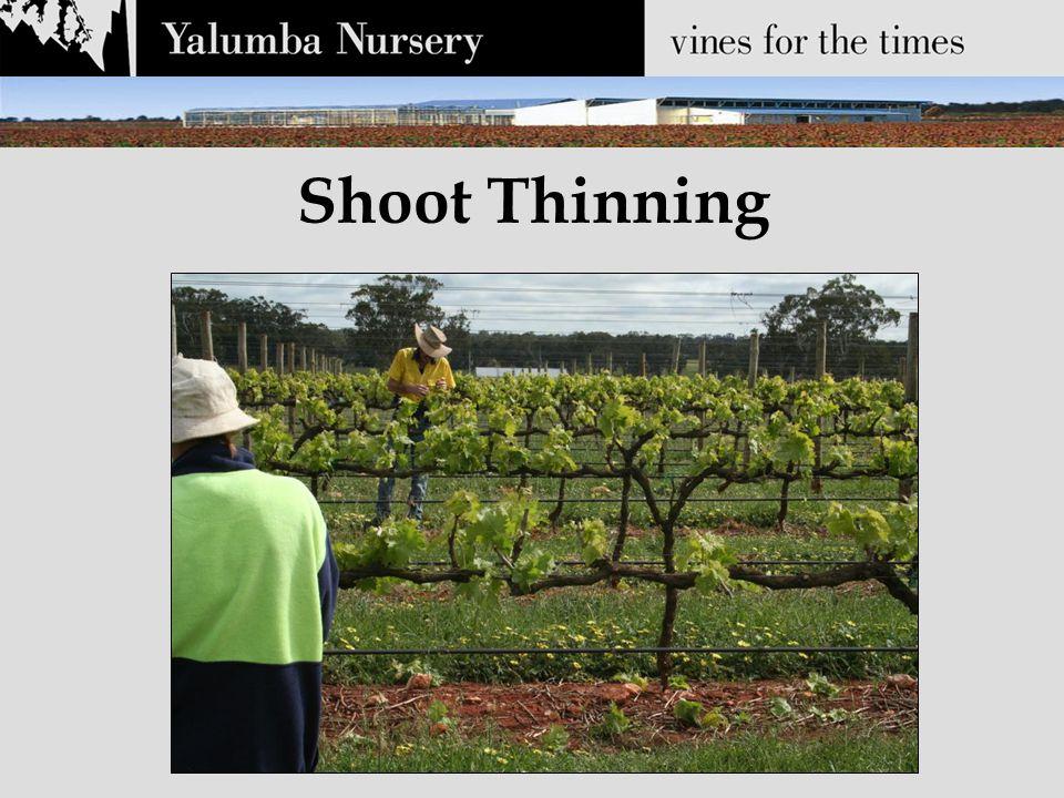 Shoot Thinning