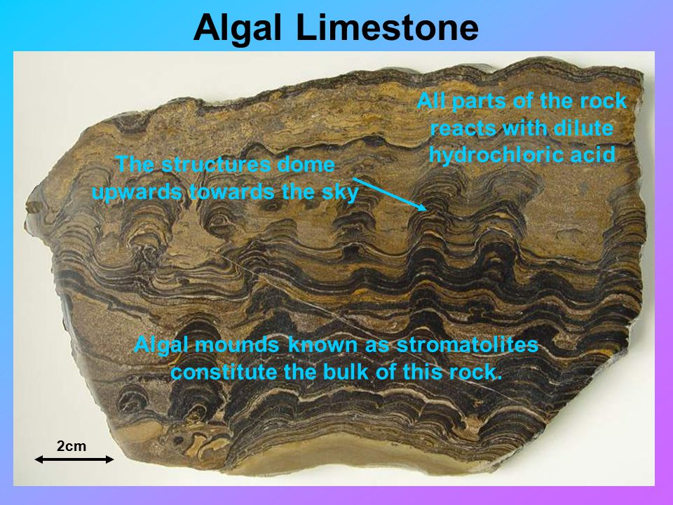 Algal Limestone 2cm Algal mounds known as stromatolites constitute the bulk of this rock.