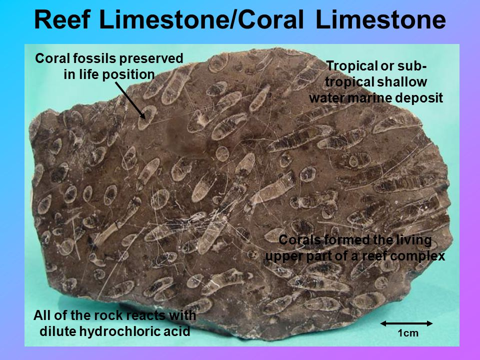 Reef Limestone/Coral Limestone 1cm Coral fossils preserved in life position All of the rock reacts with dilute hydrochloric acid Tropical or sub- tropical shallow water marine deposit Corals formed the living upper part of a reef complex