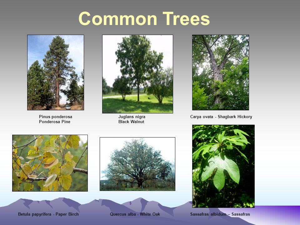 Common Trees Pinus ponderosa Juglans nigra Carya ovata - Shagbark Hickory Ponderosa Pine Black Walnut Betula papyrifera - Paper Birch Quercus alba - White Oak Sassafras albidum – Sassafras