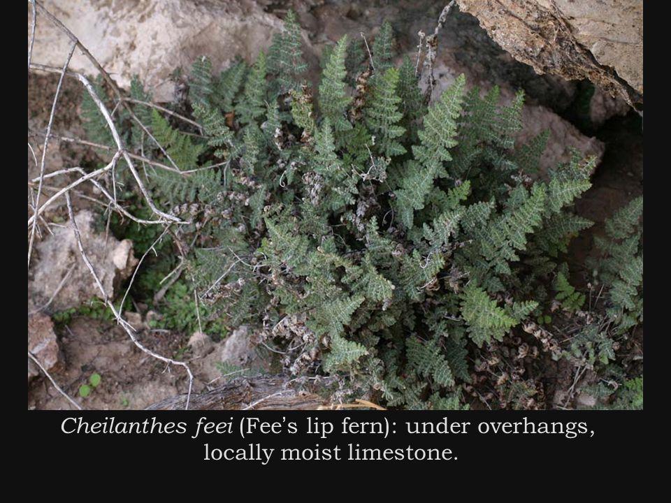 Cheilanthes feei (Fee ' s lip fern): under overhangs, locally moist limestone.