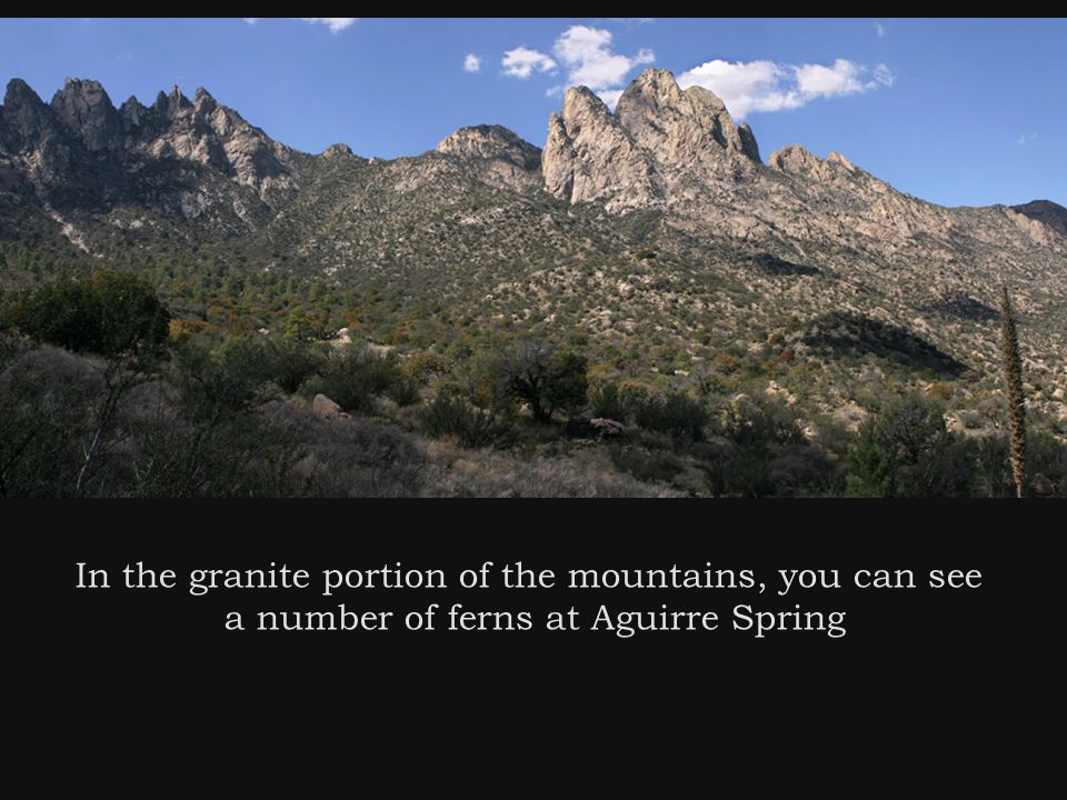 In the granite portion of the mountains, you can see a number of ferns at Aguirre Spring