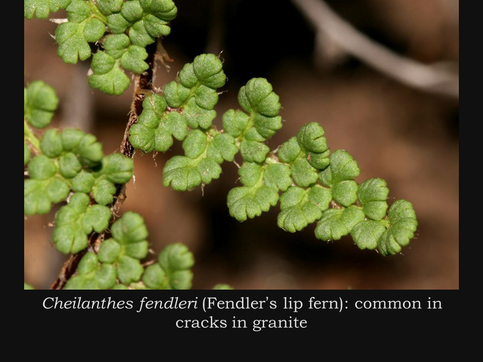 Cheilanthes fendleri (Fendler ' s lip fern): common in cracks in granite