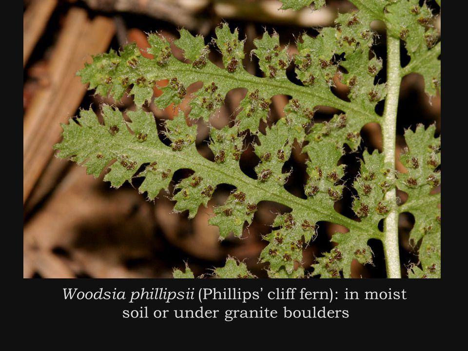 Woodsia phillipsii (Phillips ' cliff fern): in moist soil or under granite boulders
