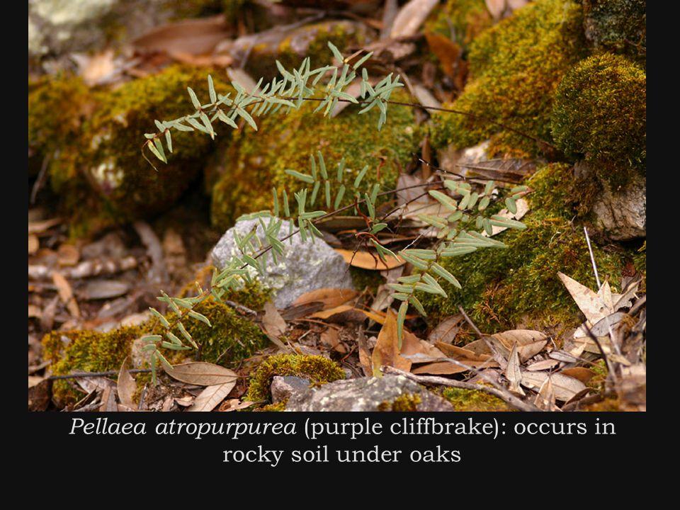 Pellaea atropurpurea (purple cliffbrake): occurs in rocky soil under oaks