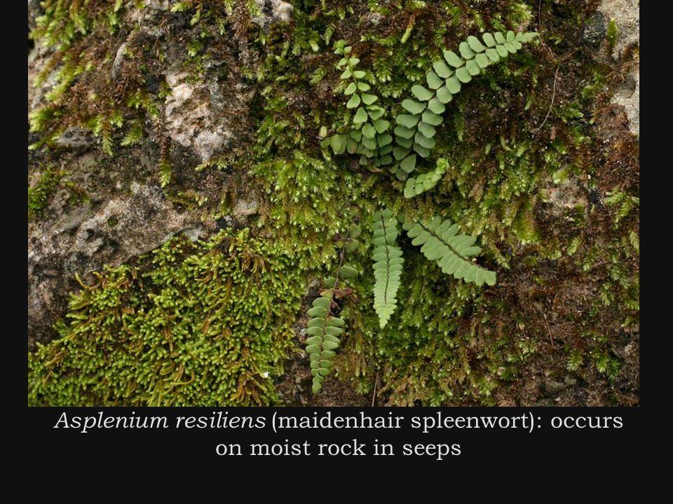 Asplenium resiliens (maidenhair spleenwort): occurs on moist rock in seeps