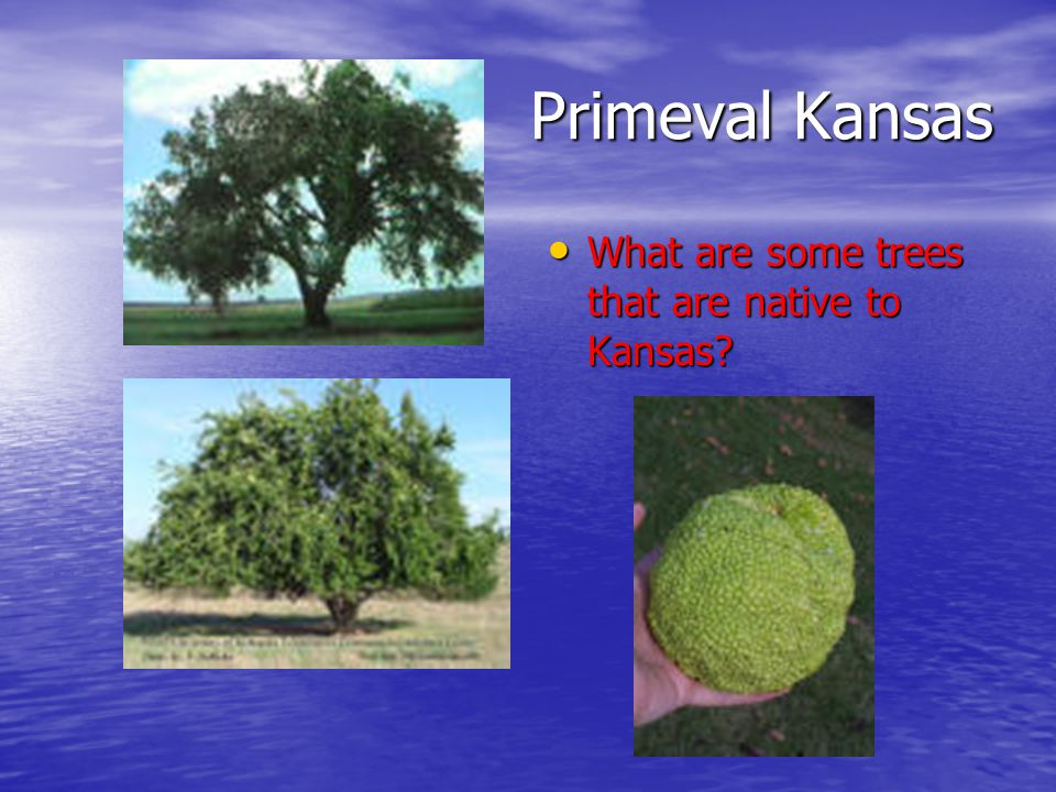 Primeval Kansas What are some trees that are native to Kansas.