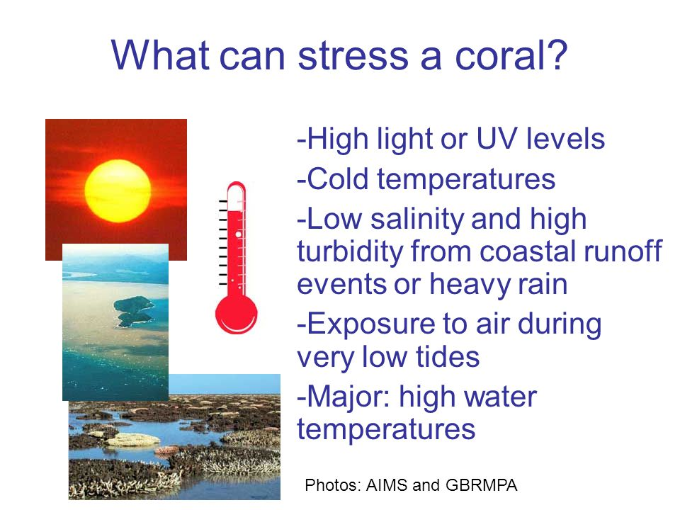Thermal stress -Corals live close to their thermal maximum limit -If water gets 1 or 2°C higher than the summer average, corals get stressed and bleach -NOAA satellites measure global ocean temperature and thermal stress