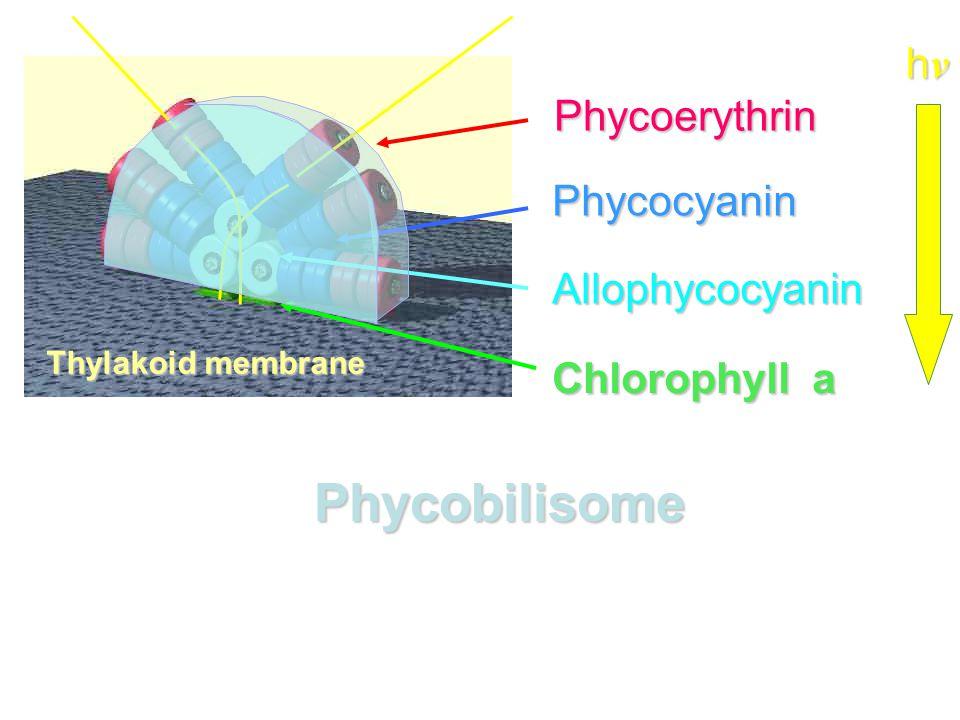 Phycoerythrin Phycocyanin Allophycocyanin Chlorophyll a hνhνhνhν Phycobilisome Thylakoid membrane