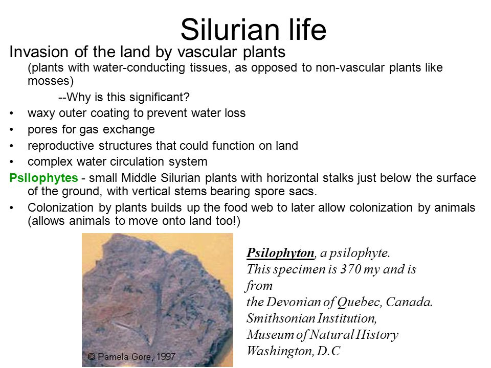 Silurian life Invasion of the land by vascular plants (plants with water-conducting tissues, as opposed to non-vascular plants like mosses) --Why is this significant.