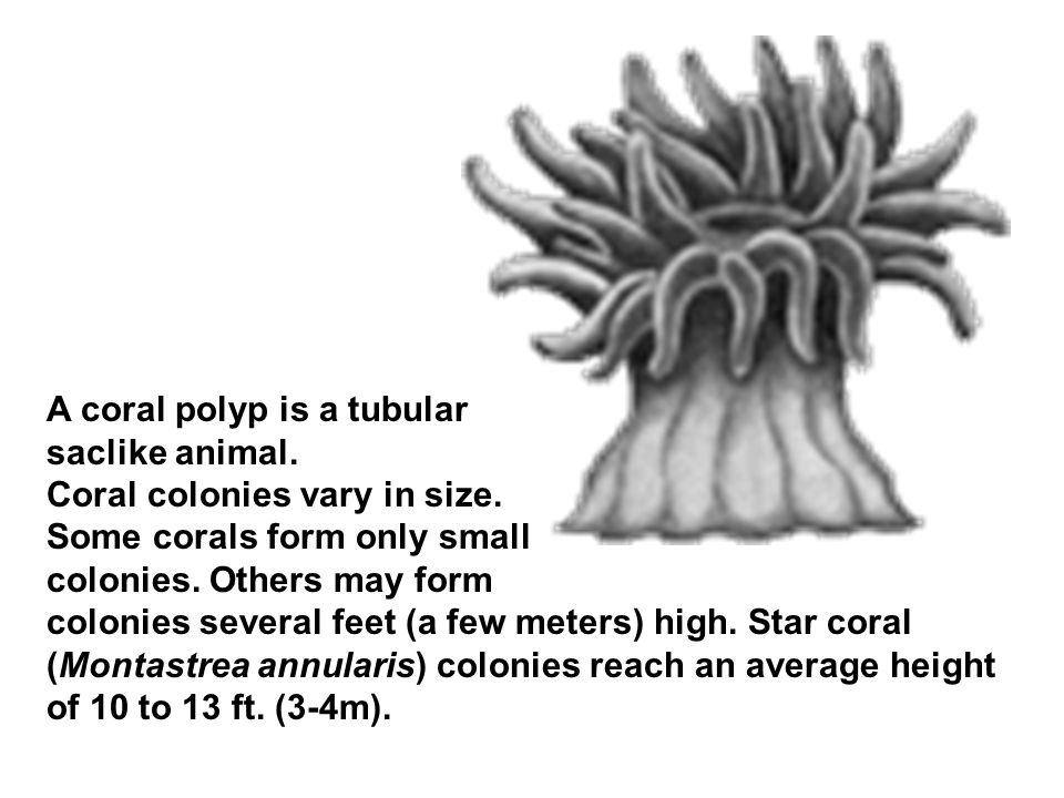 A coral polyp is a tubular saclike animal. Coral colonies vary in size.