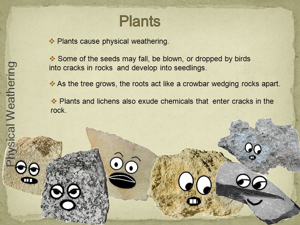  Plants cause physical weathering.  Some of the seeds may fall, be blown, or dropped by birds into cracks in rocks and develop into seedlings.  As