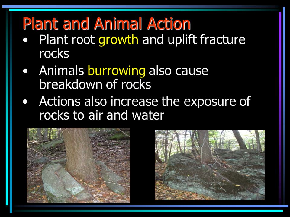 Plant and Animal Action Plant root growth and uplift fracture rocks Animals burrowing also cause breakdown of rocks Actions also increase the exposure