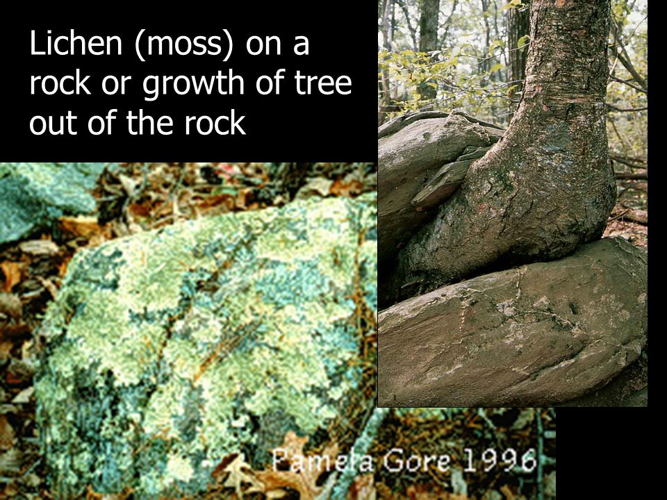 Lichen (moss) on a rock or growth of tree out of the rock