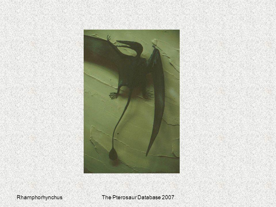 RhamphorhynchusThe Pterosaur Database 2007
