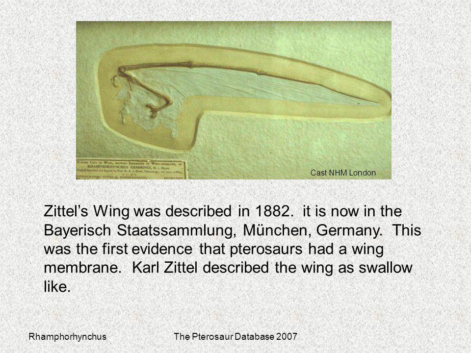 RhamphorhynchusThe Pterosaur Database 2007 Zittel's Wing was described in 1882. it is now in the Bayerisch Staatssammlung, München, Germany. This was