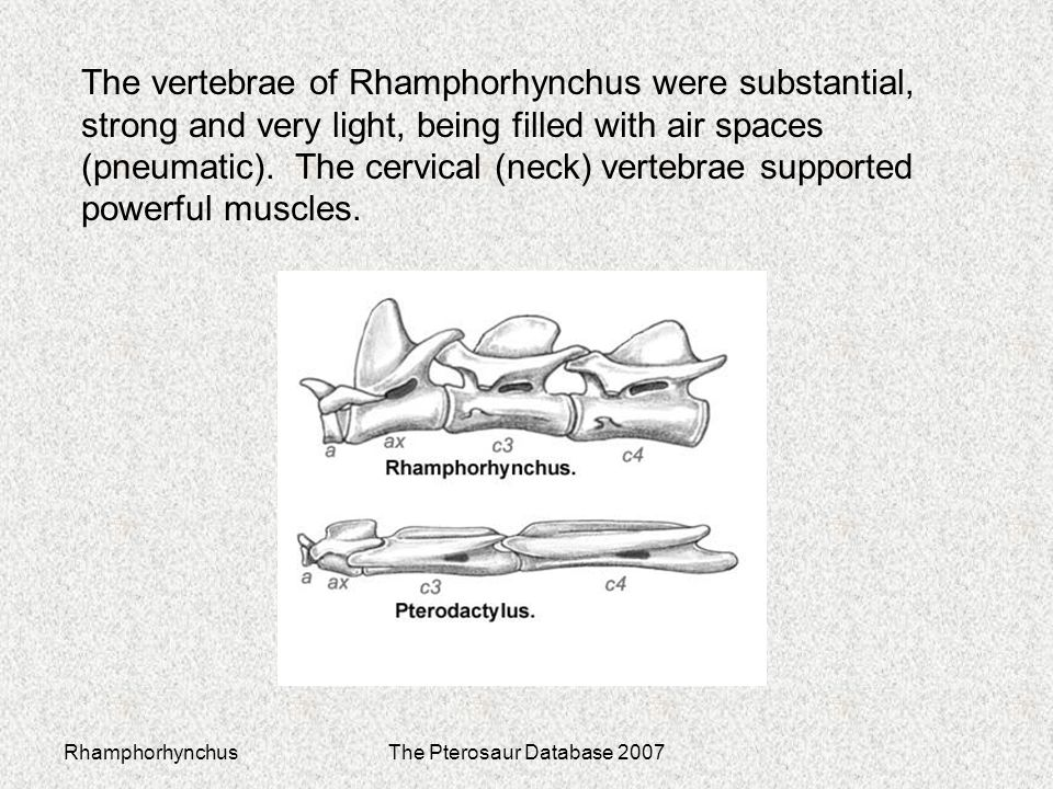 RhamphorhynchusThe Pterosaur Database 2007 The vertebrae of Rhamphorhynchus were substantial, strong and very light, being filled with air spaces (pneumatic).