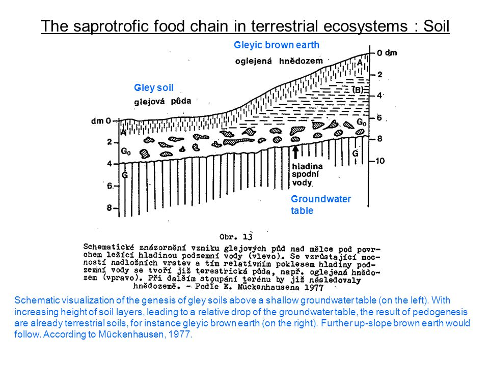 The saprotrofic food chain in terrestrial ecosystems : Soil Schematic visualization of the genesis of gley soils above a shallow groundwater table (on the left).