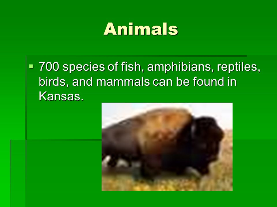 Animals  700 species of fish, amphibians, reptiles, birds, and mammals can be found in Kansas.