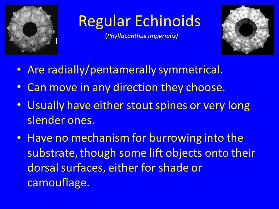 Regular Echinoids Are radially/pentamerally symmetrical.