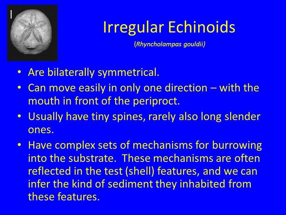 Irregular Echinoids Are bilaterally symmetrical.