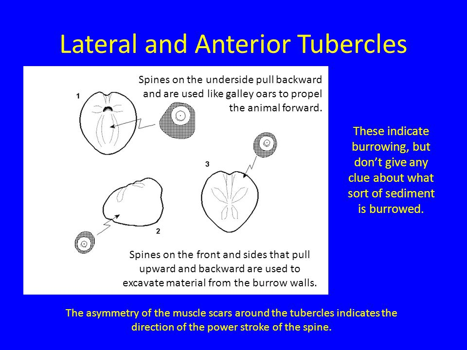 Lateral and Anterior Tubercles The asymmetry of the muscle scars around the tubercles indicates the direction of the power stroke of the spine.