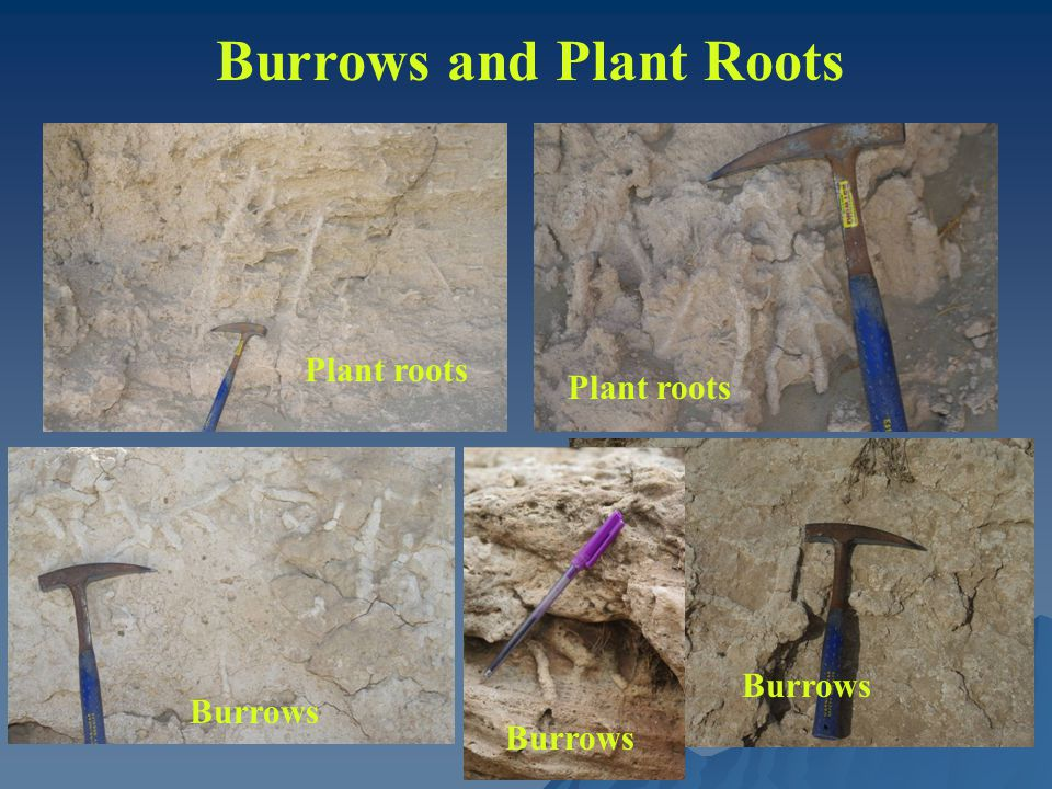 Burrows and Plant Roots Plant roots Burrows