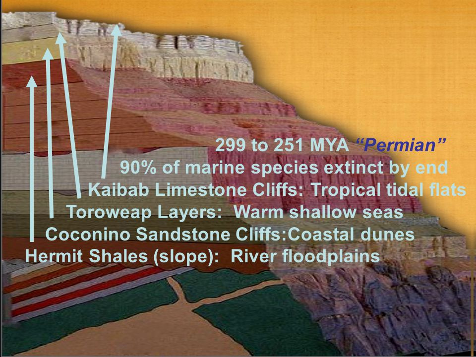 "299 to 251 MYA ""Permian"" 90% of marine species extinct by end Kaibab Limestone Cliffs: Tropical tidal flats Toroweap Layers: Warm shallow seas Coconin"
