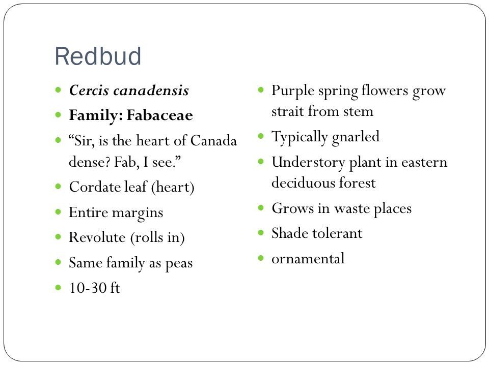 Redbud Cercis canadensis Family: Fabaceae Sir, is the heart of Canada dense.