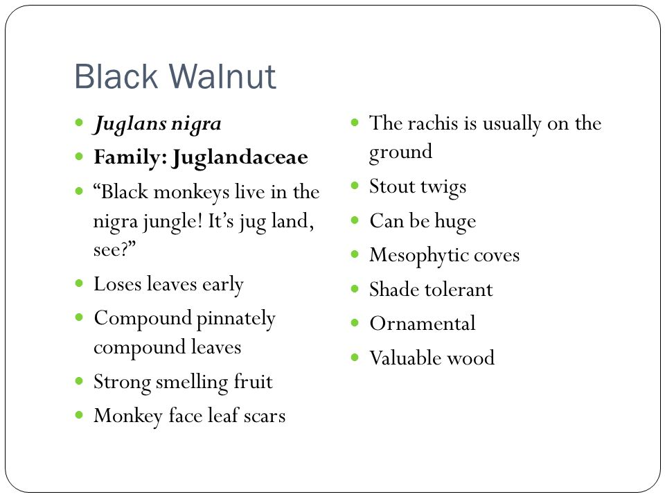 Black Walnut Juglans nigra Family: Juglandaceae Black monkeys live in the nigra jungle.