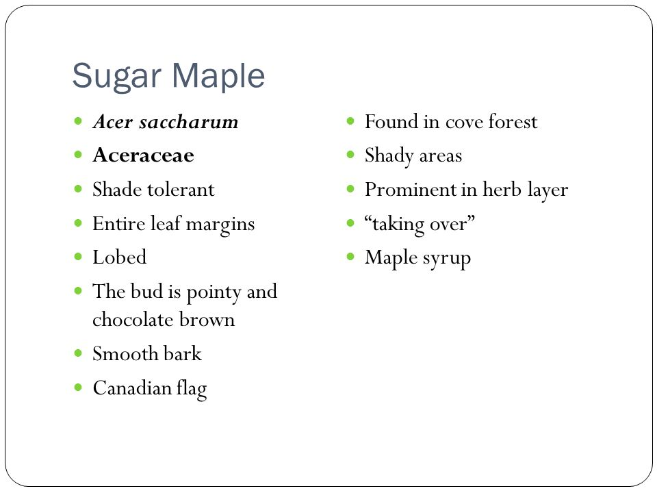 Sugar Maple Acer saccharum Aceraceae Shade tolerant Entire leaf margins Lobed The bud is pointy and chocolate brown Smooth bark Canadian flag Found in cove forest Shady areas Prominent in herb layer taking over Maple syrup
