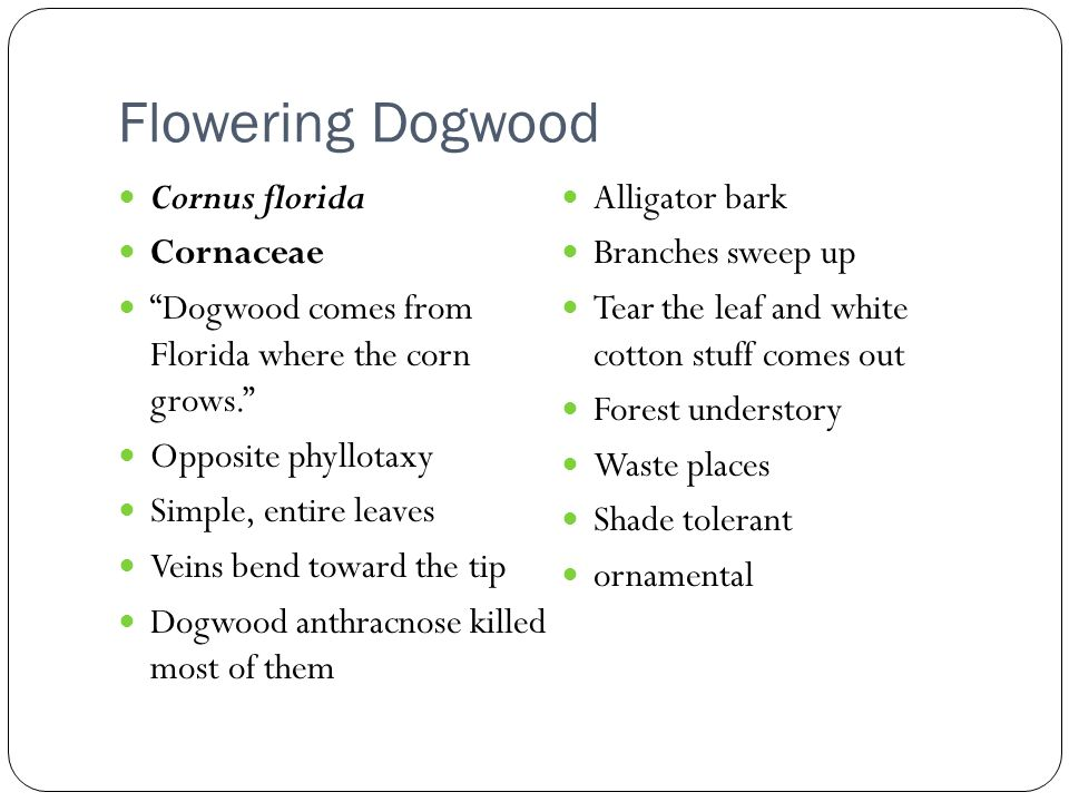 Flowering Dogwood Cornus florida Cornaceae Dogwood comes from Florida where the corn grows. Opposite phyllotaxy Simple, entire leaves Veins bend toward the tip Dogwood anthracnose killed most of them Alligator bark Branches sweep up Tear the leaf and white cotton stuff comes out Forest understory Waste places Shade tolerant ornamental