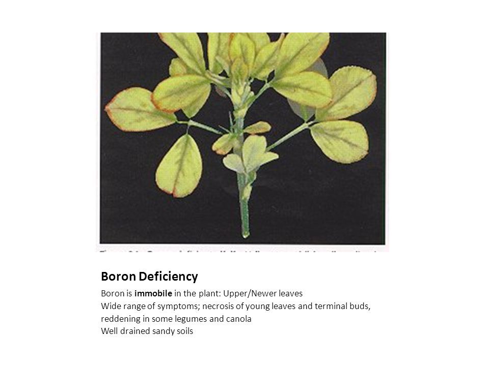 Boron Deficiency Boron is immobile in the plant: Upper/Newer leaves Wide range of symptoms; necrosis of young leaves and terminal buds, reddening in some legumes and canola Well drained sandy soils