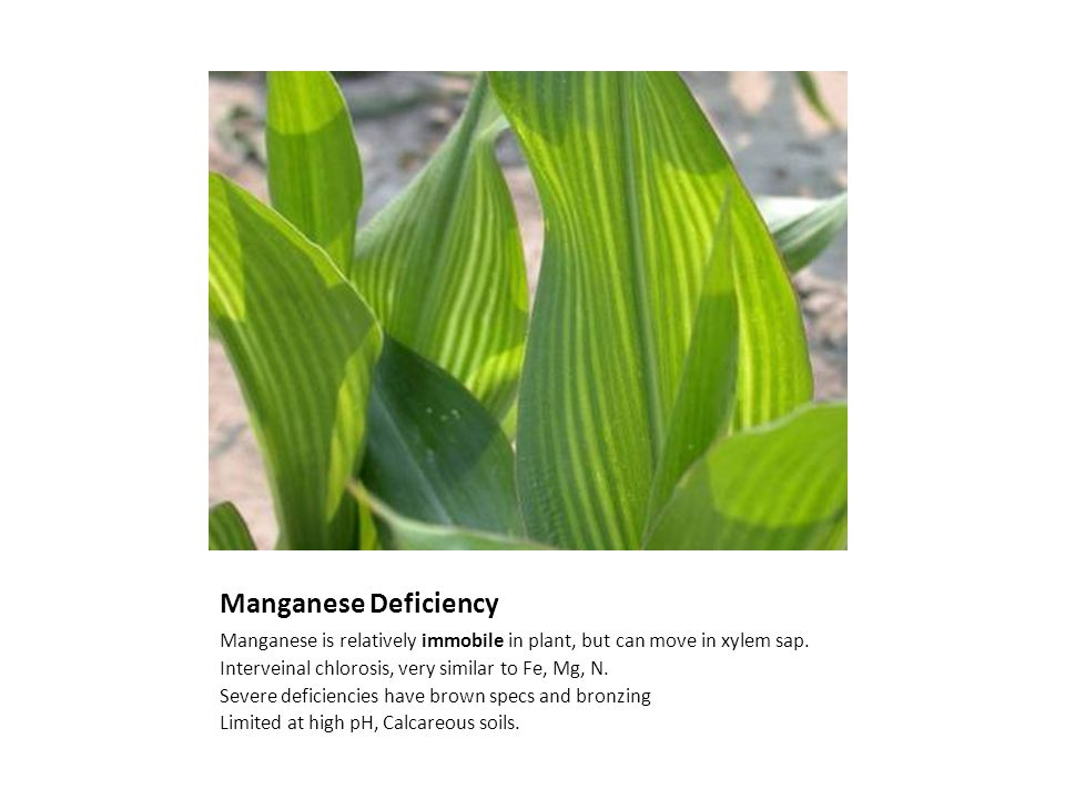 Manganese Deficiency Manganese is relatively immobile in plant, but can move in xylem sap.