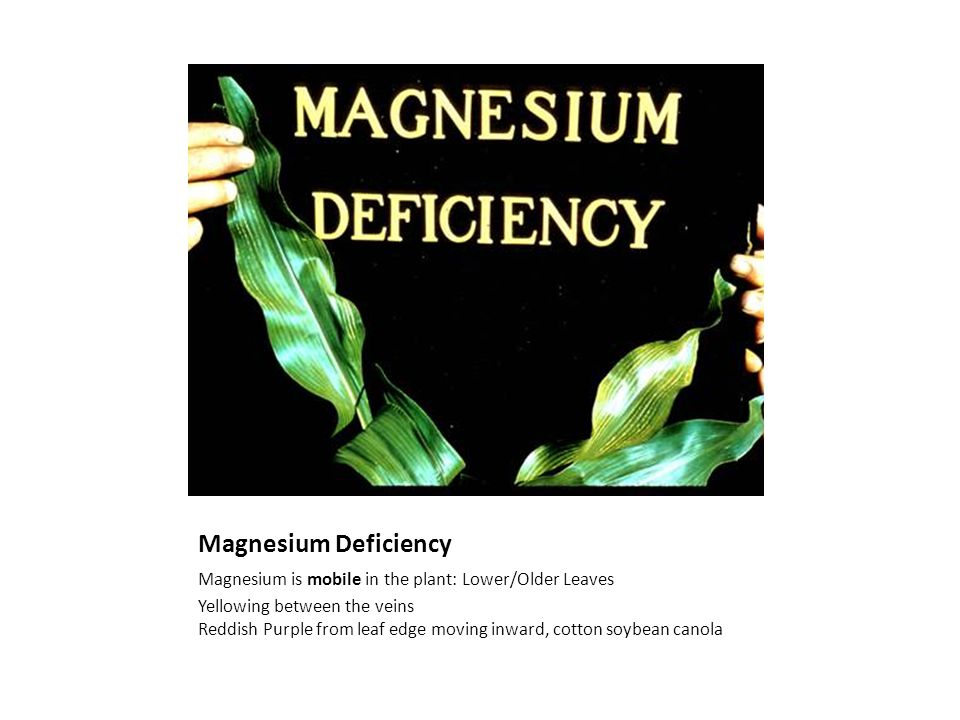 Magnesium Deficiency Magnesium is mobile in the plant: Lower/Older Leaves Yellowing between the veins Reddish Purple from leaf edge moving inward, cotton soybean canola