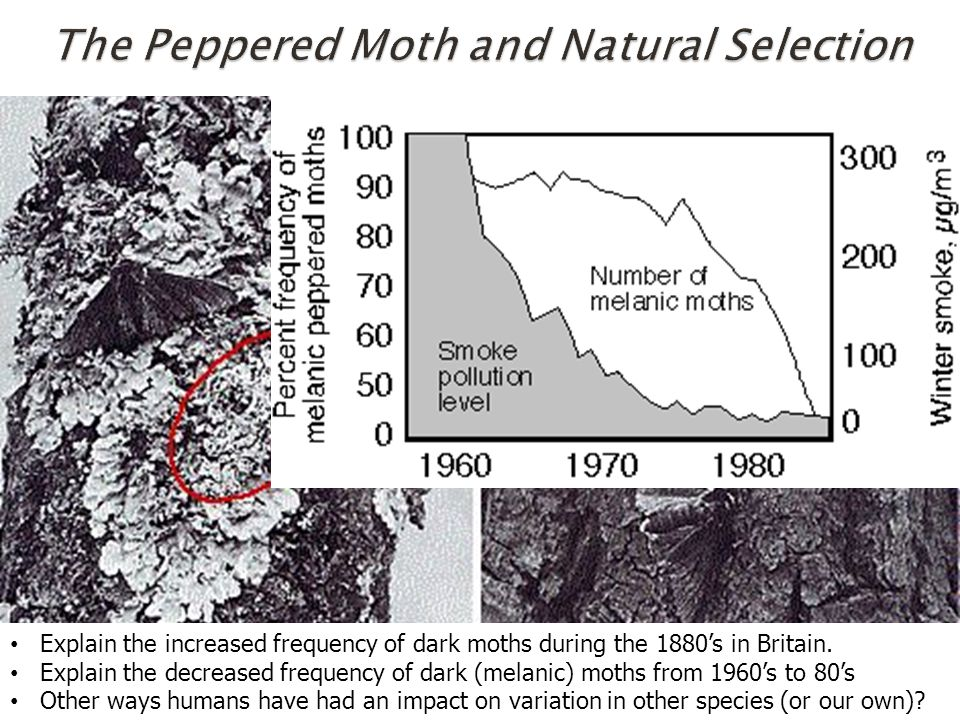 Explain the increased frequency of dark moths during the 1880's in Britain.