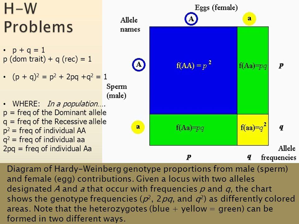 HW formula on the AP Equations Handout p + q = 1 p (dom trait) + q (rec) = 1 (p + q) 2 = p 2 + 2pq +q 2 = 1 WHERE: In a population….