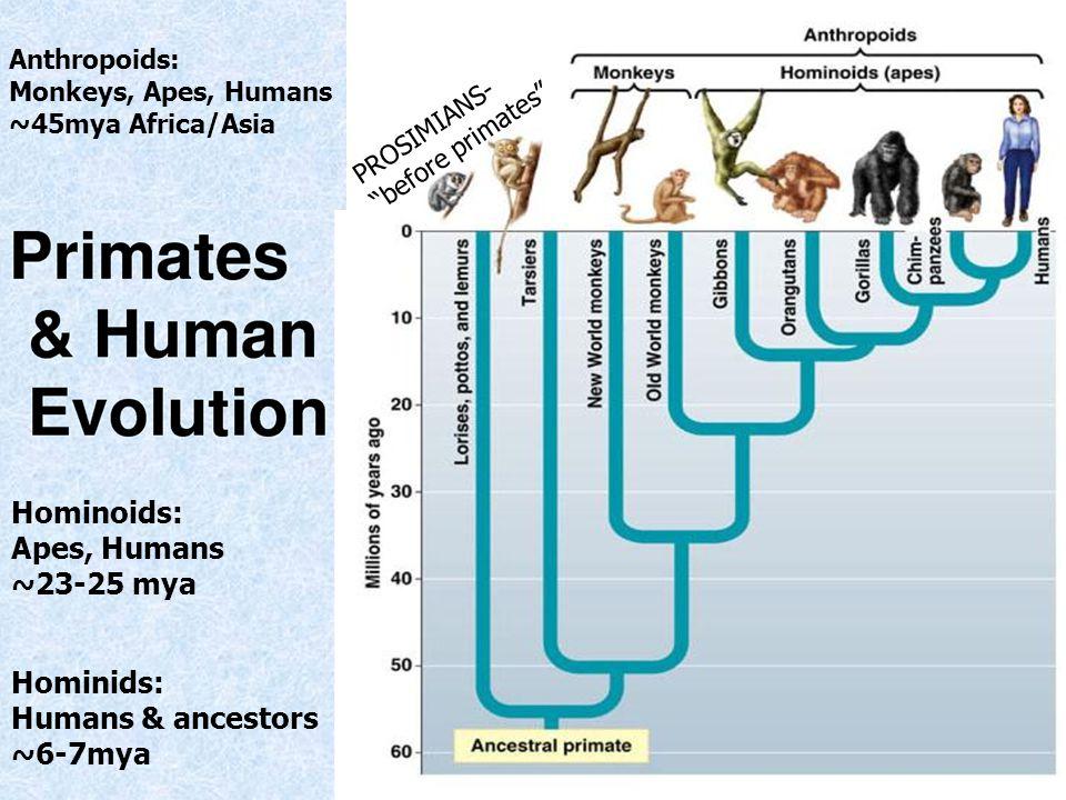 Anthropoids: Monkeys, Apes, Humans ~45mya Africa/Asia Hominoids: Apes, Humans ~23-25 mya Hominids: Humans & ancestors ~6-7mya PROSIMIANS- before primates