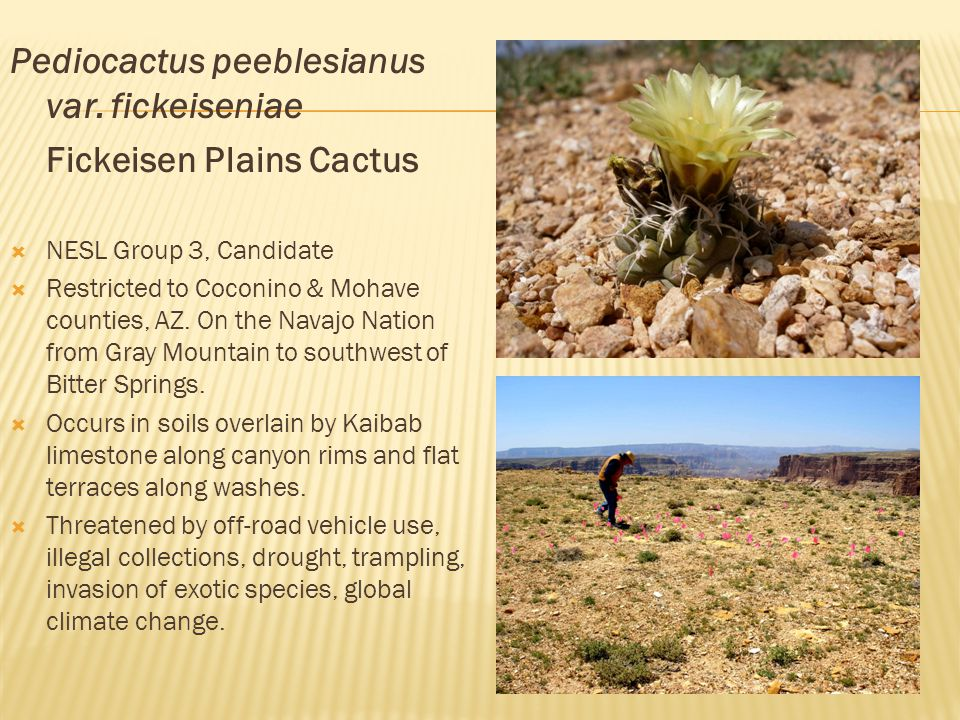 Pediocactus peeblesianus var. fickeiseniae Fickeisen Plains Cactus  NESL Group 3, Candidate  Restricted to Coconino & Mohave counties, AZ. On the Na