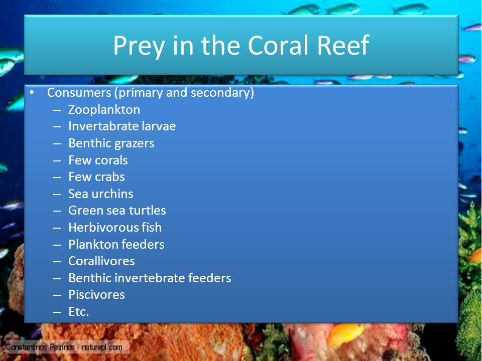 Prey in the Coral Reef Consumers (primary and secondary) – Zooplankton – Invertabrate larvae – Benthic grazers – Few corals – Few crabs – Sea urchins