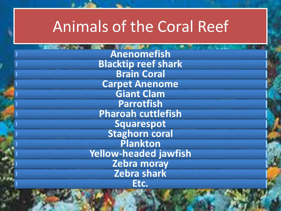 Animals of the Coral Reef AnenomefishBlacktip reef sharkBrain CoralCarpet AnenomeGiant ClamParrotfishPharoah cuttlefishSquarespotStaghorn coralPlankto
