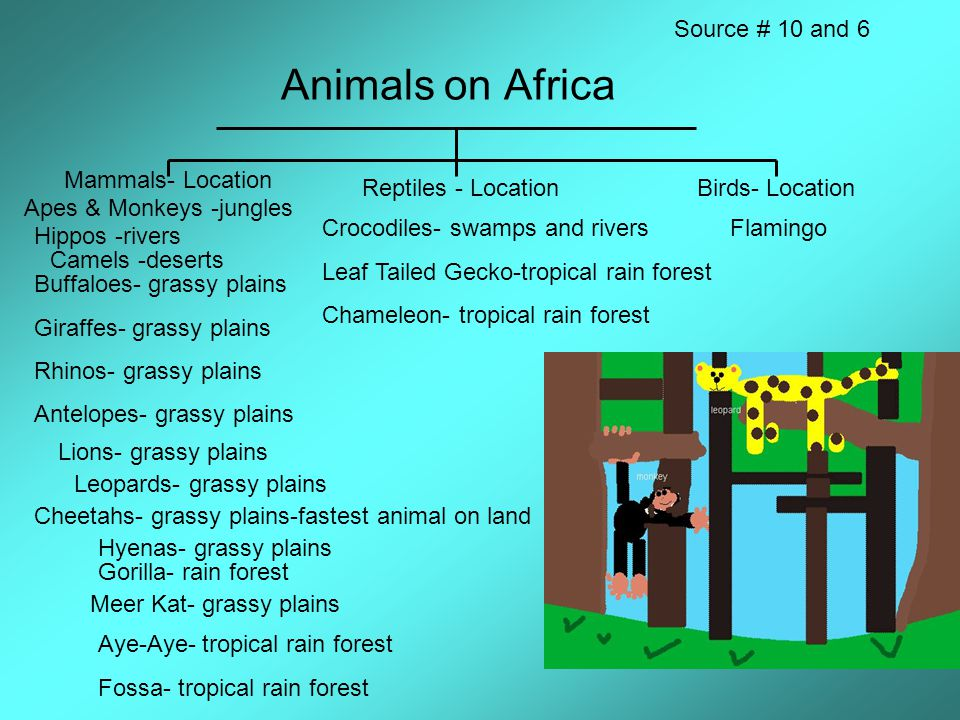 Animals on Africa Mammals- Location Reptiles - LocationBirds- Location Source # 10 and 6 Apes & Monkeys -jungles Hippos -rivers Camels -deserts Buffaloes- grassy plains Giraffes- grassy plains Rhinos- grassy plains Antelopes- grassy plains Lions- grassy plains Leopards- grassy plains Cheetahs- grassy plains-fastest animal on land Hyenas- grassy plains Gorilla- rain forest Meer Kat- grassy plains Aye-Aye- tropical rain forest Fossa- tropical rain forest Crocodiles- swamps and rivers Leaf Tailed Gecko-tropical rain forest Chameleon- tropical rain forest Flamingo